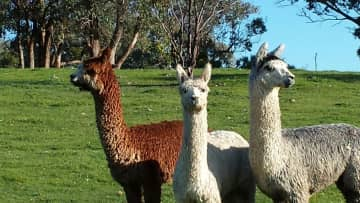 Our 3 lovely Alpacas on our farm in Tallarook, Victoria. Winston, Sinatra and Flash