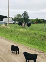 My dogs, Ronan & Casimir, enjoying a stroll.