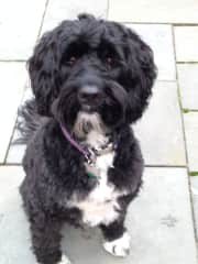 Inky, a Portuguese Water Dog I cared for for 5 years. Before Inky, I worked for this owner for several years, caring for 2 of their previous PWD's. 11 years total.