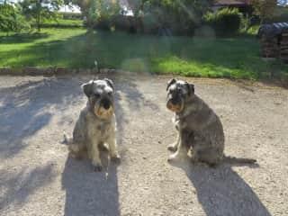 Our schnauzers Lottie and Dora