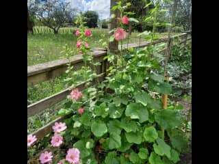 My garden in summer...hollyhocks, roses, sunflowers are my favourites