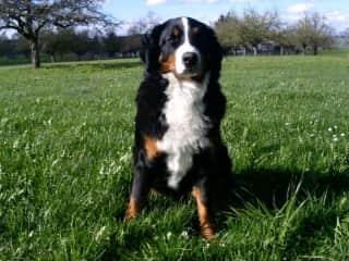 Elia - our second Bernese mountain dog