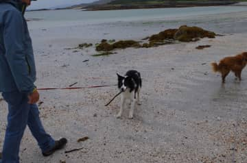 Walking the dogs on the beach in Scotland