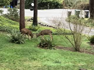 Two young bucks facing off in the front yard.