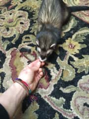 Me and a ferret named Otter Pop! (Santa Cruz)