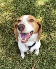 Sadie Beagle