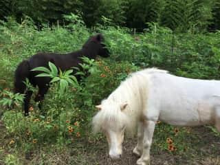 Mini-horses Champayne and Triumph