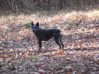 One of our stump tail heelers, Cooner.