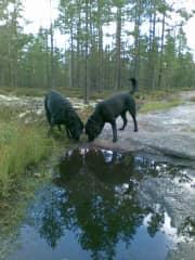 Our two labradors.