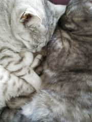 Egyptian Maus, the first domesticated cats, one silver, one smokey