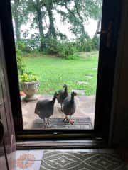 Our guinea hens are friendly but loud!