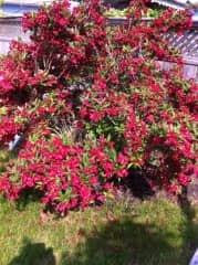 This is a weigelia. I love gardening but I am not very good at it.