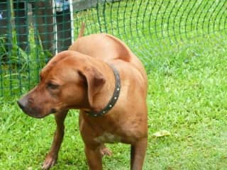 Hunter - One of the Ridgebacks we looked after