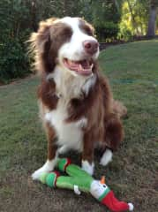 Manfred the happy  border collie