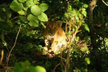 Lion cub, Masai Mara Preserve, Kenya