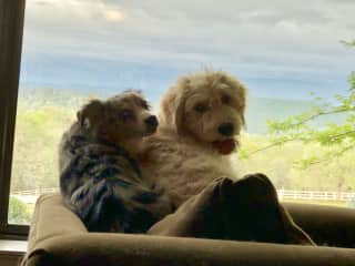 Mini Aussie Charlotte and Golden Doodle Daisy Mae