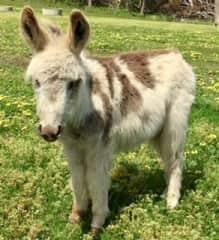 Nigel- mini donkey
