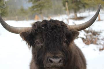 Adonis, our Highland Bull