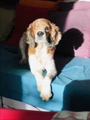 Chili the one eye wonder dog- after glaucoma surgery