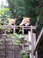 2 of our family of cats at the garden Ginger Nuts and Stumpy ( who has no tail!)