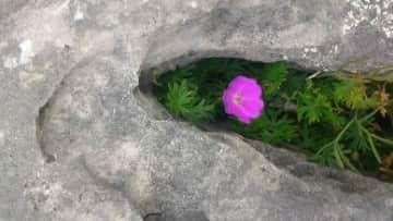 Bloody Cranesbill - Wild flower of The Burren
