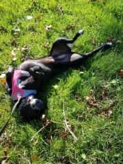 Ebony rolling in the grass