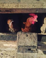 22 Rescue/Battery Chickens in Brittany, France.