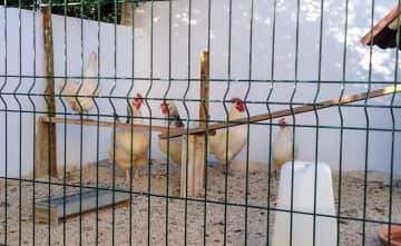 On my Portugal sit, I got to name the chickens! Meet (from left to right) Bernadette, Josie, Bessie, Jorge and Roberta