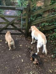 On a gorgeous walk in the Cotswolds, the dogs patiently wait for me to open the gate.