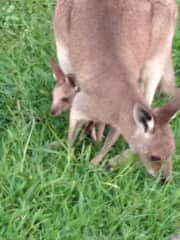 The kangaroo family that live with us now on a 270 acres in the Eco village in the Gold Coast Hinterland. No cats or dogs allowed as it is a wildlife reserve. We love our kangaroos all 100+ of them but they cant greet you with a jump when you arric