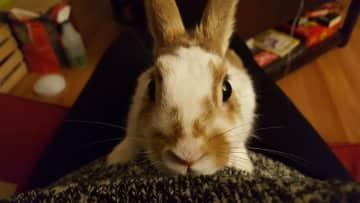 My pet rabbit Alfalfa