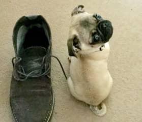 Shoe & Pug