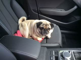 When leaving petsit, Puggy decided he was coming with me