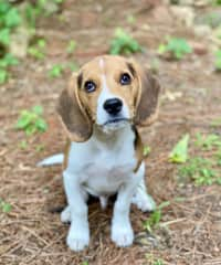 Forrest is our little beagle boy born in January of 2020. He is the snuggliest pup ever, and also the hungriest! He has a LOUD howl and will howl at strangers or wildlife when he's afraid or excited.