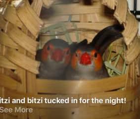 Itzi & Bitzi, orange-billed finches