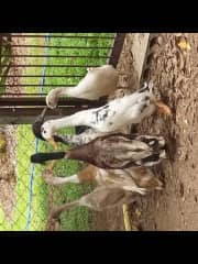 Sorry the pic is sideways. These Are Indian Runner Ducks