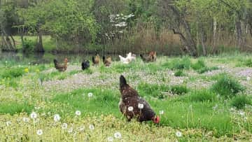 """Our own chickens as they """"graze"""" our property for their next worm or bug"""