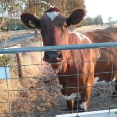 Missy Cow, I love taking photos of the animals