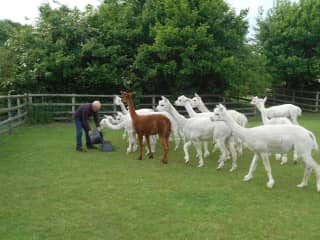 Caring for 37 alpacas