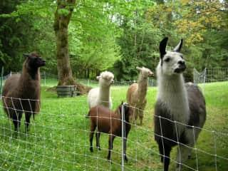 The herd: Panama & Greystone Llama, Brogan & Spice Alpaca and Stormy goat