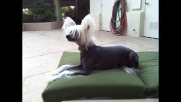Bouncer a Chinese crested hairless I take care of past 6 years