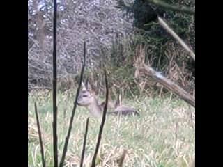 Local deer.
