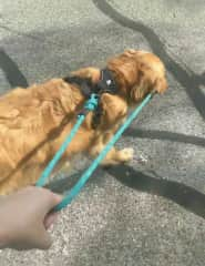 A dog I house sat for in my city who walked himself!