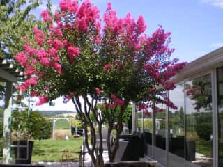 Our beautiful Indian lilac tree between the pergola and verandah/dining room