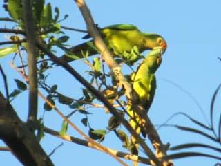 wild parrots in tree outside kitchen door
