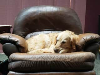 Lucas, 1 of our 3 Golden Retrievers getting a snooze.