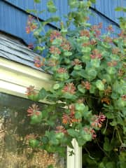 The hummingbirds love these flowers -- and you can watch them eat while you sit on the couch....