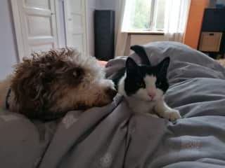 Filippa (Spanish waterdog) and Luna/Terminator) the cat, both in bed with me having first coffee