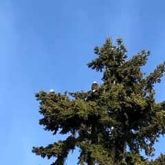 Mr & Mrs Eagle who live in our tree
