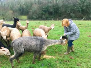 Feeding alpacas that we stayed with in France